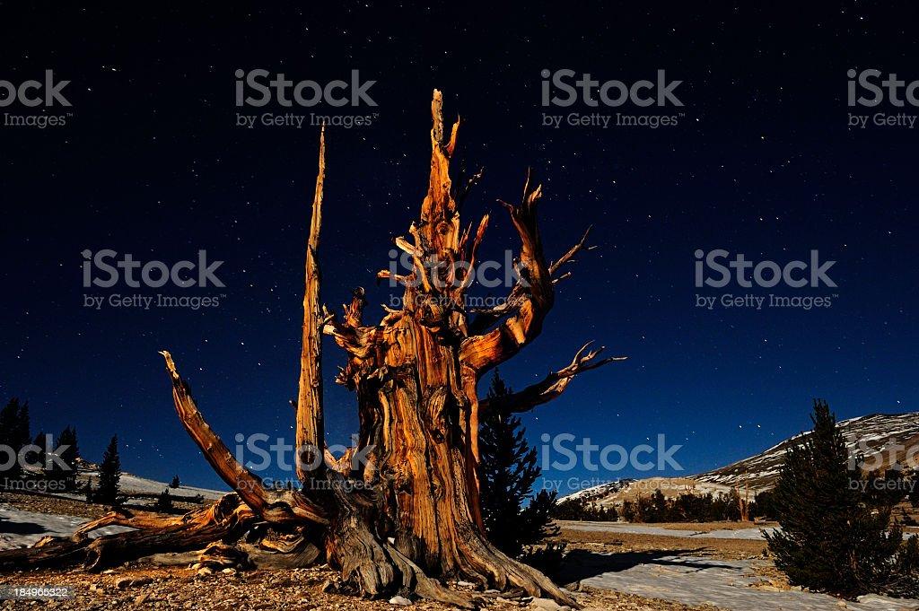 Majestic Bristle Cone Pine In The White Mountains of California stock photo