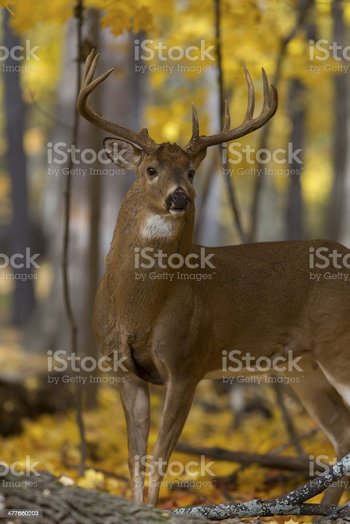 Majestic buck, brimming with confidence royalty-free stock photo