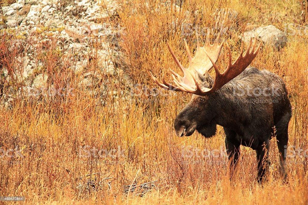 Majestic Bull Moose - Side Profile View stock photo