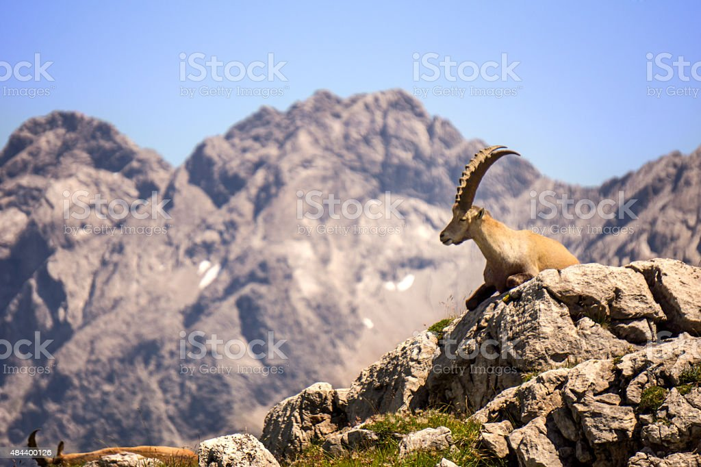 Majestic chamois sitting in front of a range of mountains stock photo
