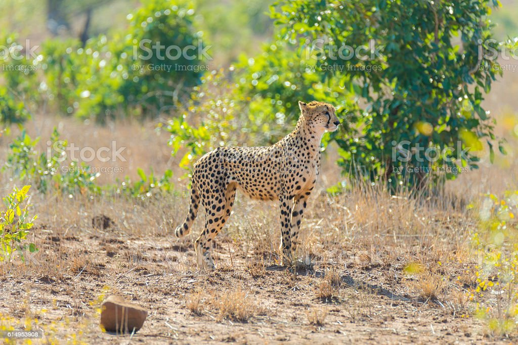 Majestic Cheetah in hunting position stock photo