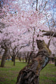 Majestic cherry blossoms in full bloom