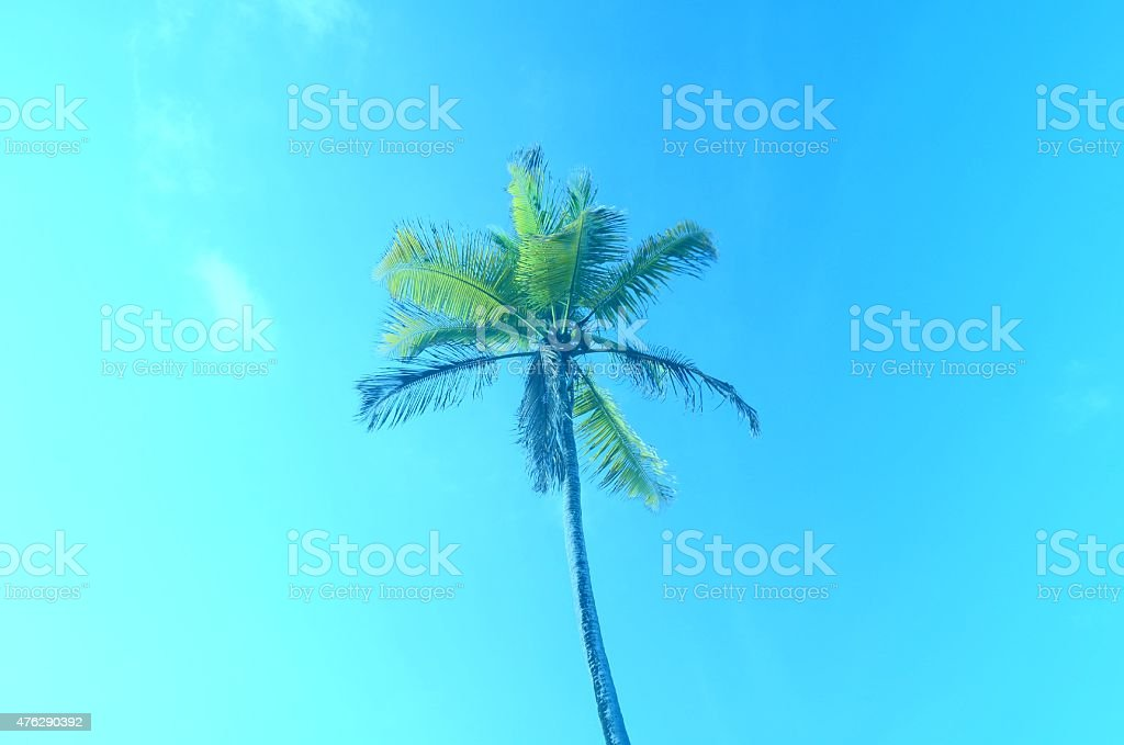 majestic coconut tree and blue sky stock photo