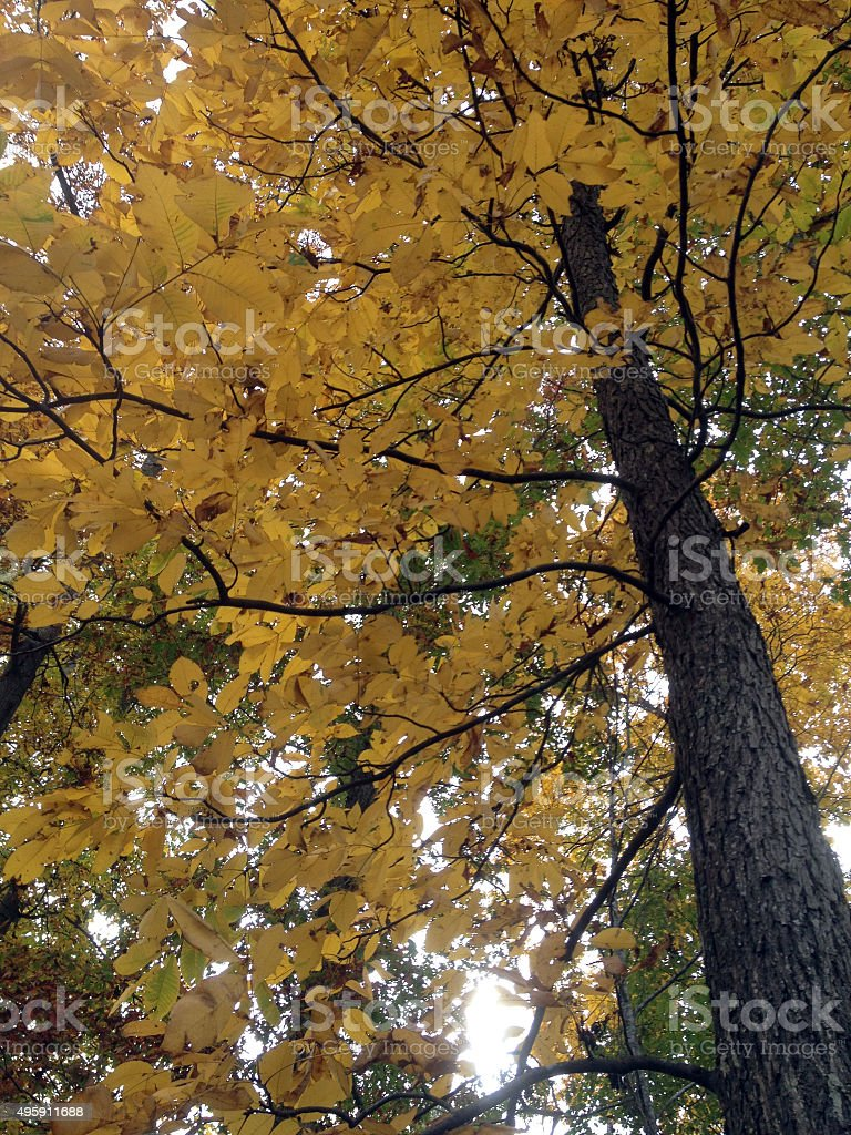Majestic Elm Tree in Autumn's Golden Color stock photo