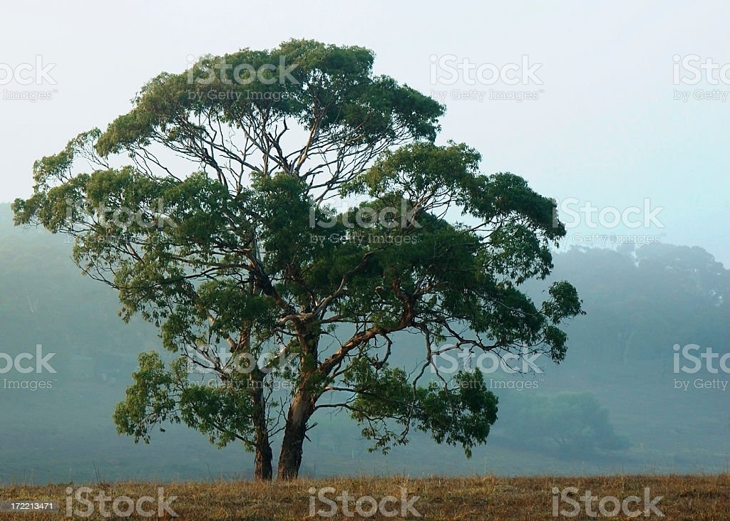 Majestic eucalypt royalty-free stock photo