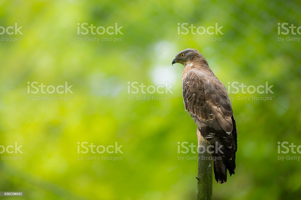 Majestic European honey buzzard stock photo