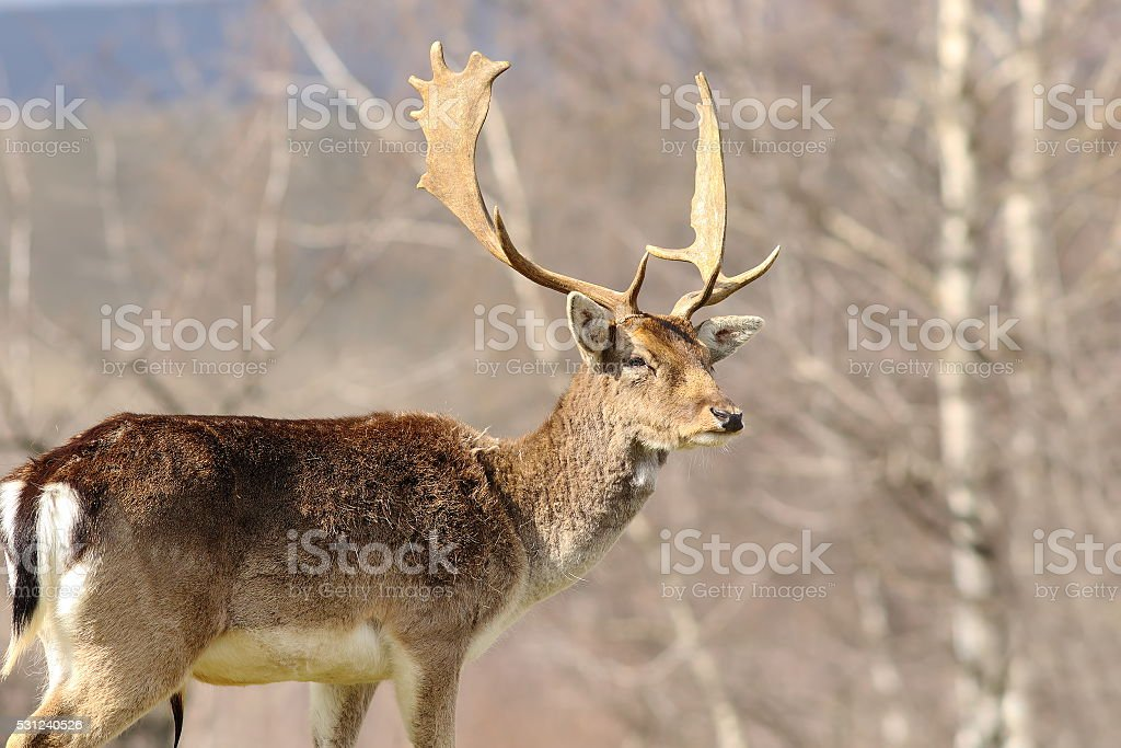 majestic fallow deer stag stock photo