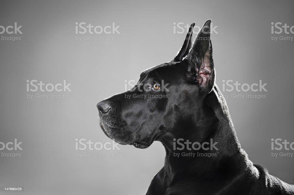 Majestic Great Dane Profile stock photo