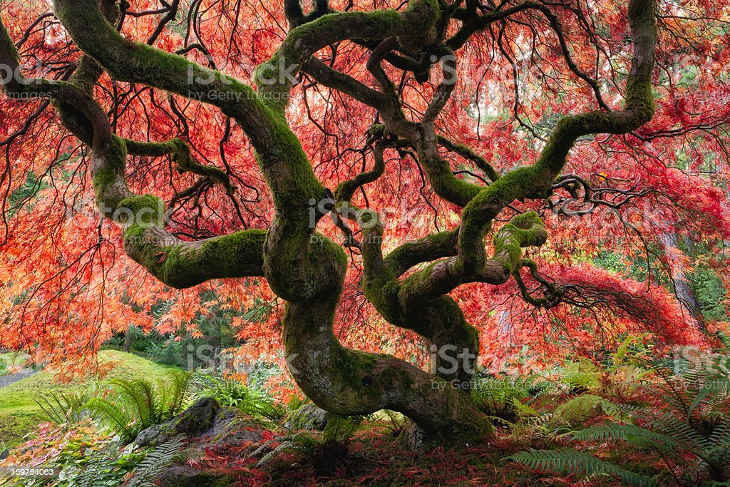 Majestic Japanese Maple with vibrant colors stock photo