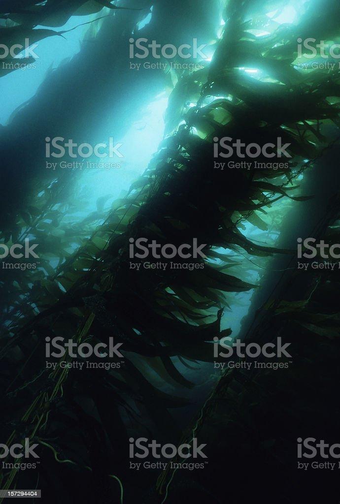 Majestic Kelp Forest stock photo