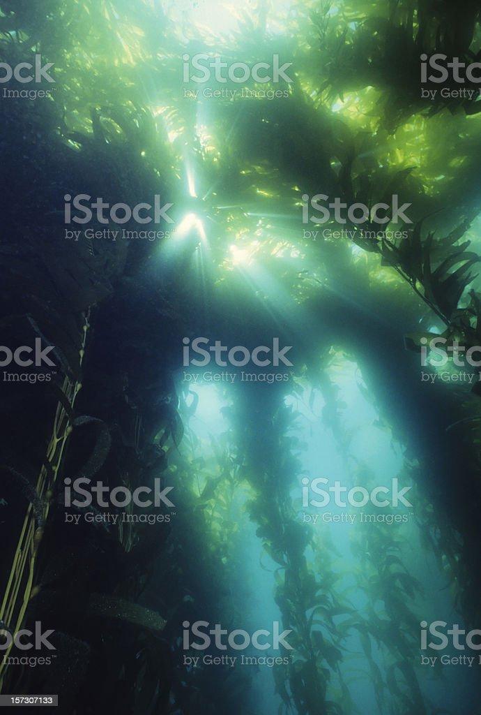 Majestic Kelp royalty-free stock photo