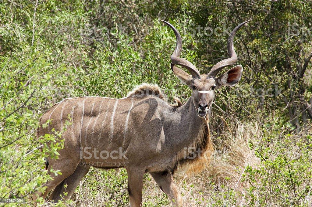 Majestic Kudu stock photo