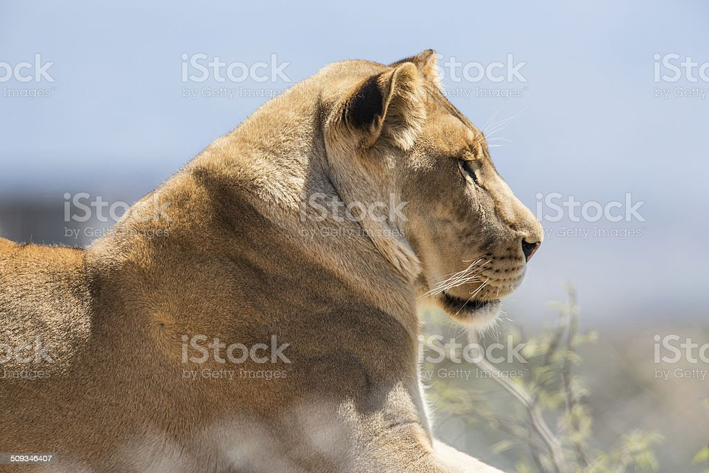 majestic lioness resting peacefully royalty-free stock photo