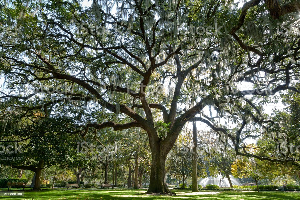 Majestic Live Oak in Savannah stock photo