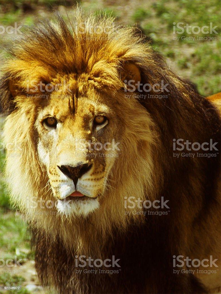 Majestic llion royalty-free stock photo