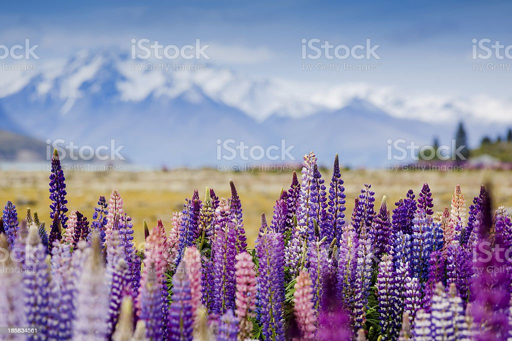 Majestic lupins blooming and mountain panorama stock photo