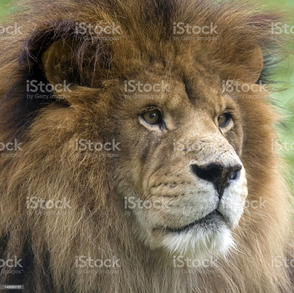 Majestic Male Lion royalty-free stock photo