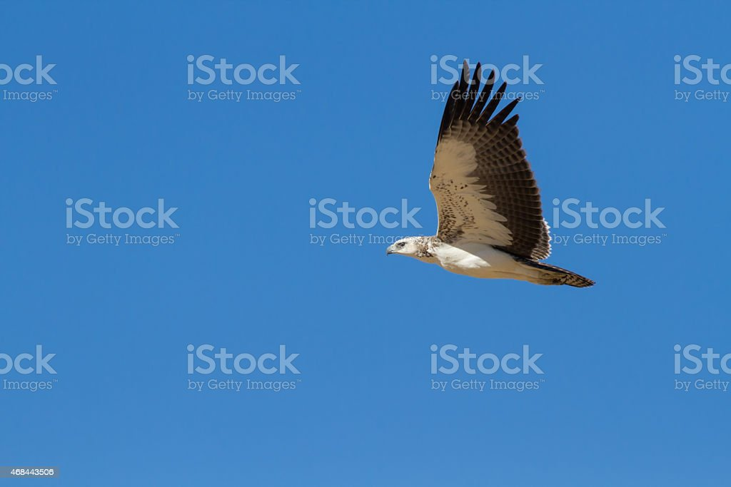 Majestic martial eagle flying holding branch for nest stock photo