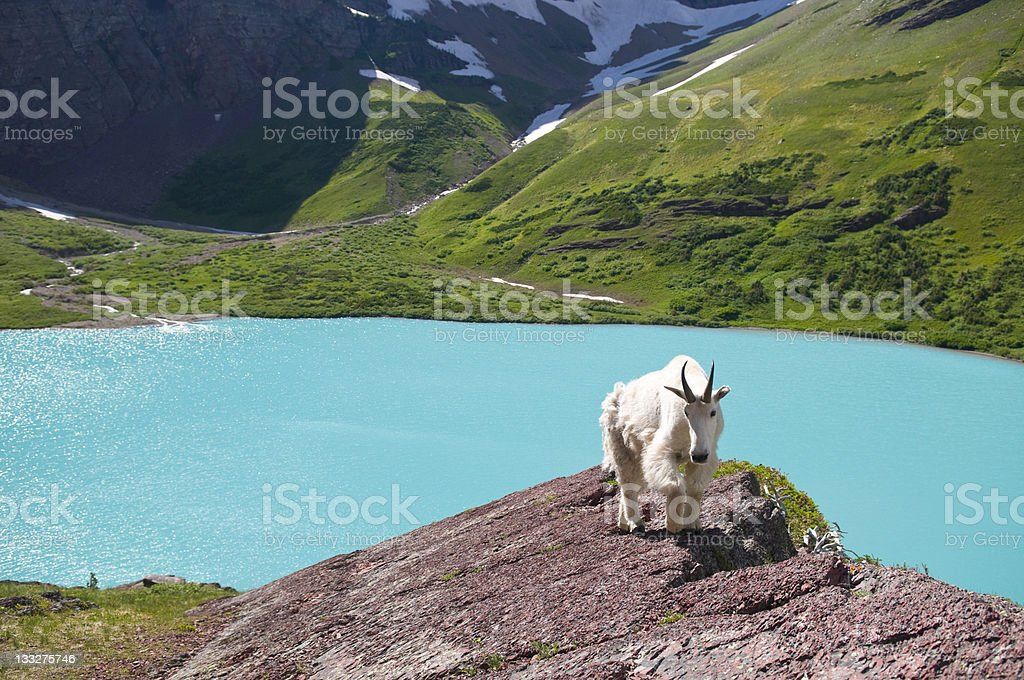 Majestic Mountain Goat and Aquamarine Glacial Lake stock photo