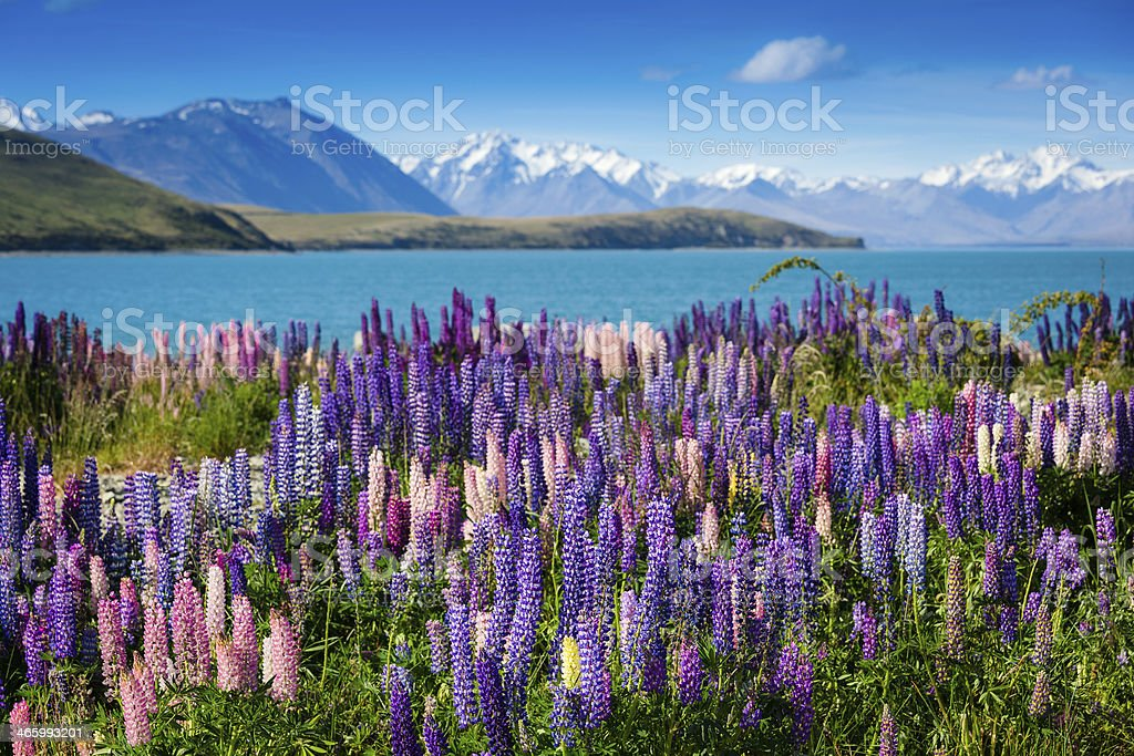 Majestic mountain lake with lupins blooming stock photo