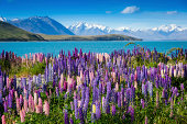 Majestic mountain lake with lupins blooming
