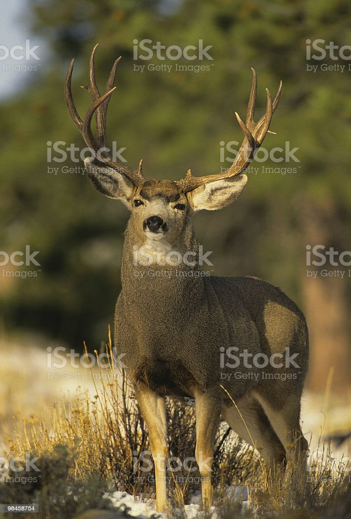 Majestic Mule Deer Buck stock photo