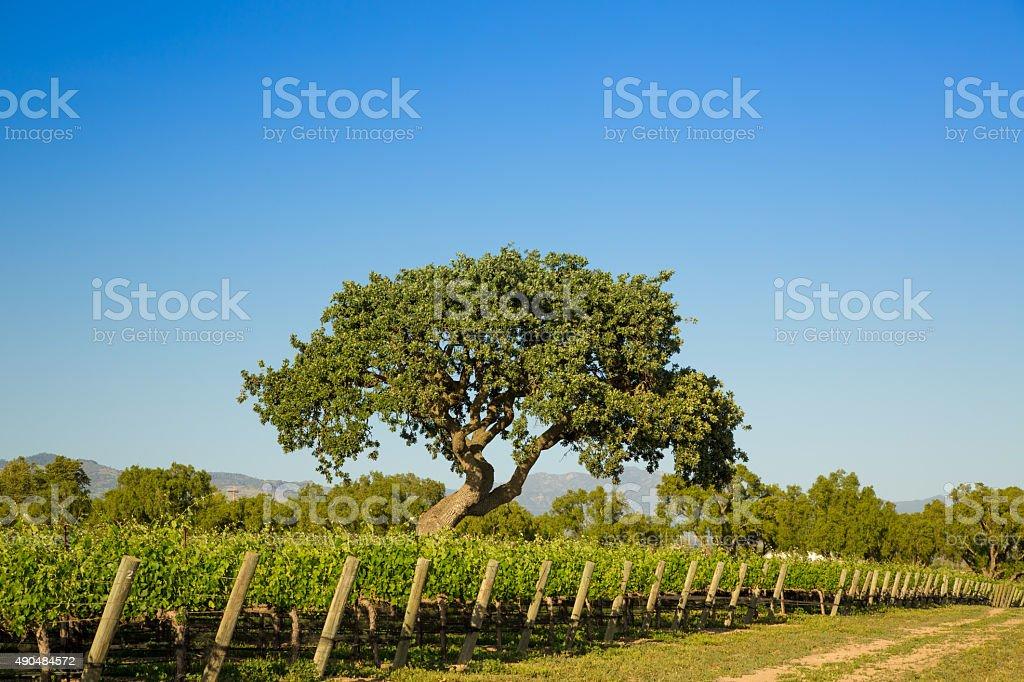 Majestic Oak Tree Over VIneyard stock photo