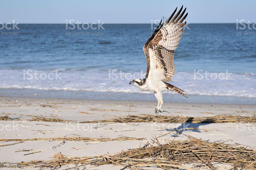 Majestic osprey bringing fish stock photo