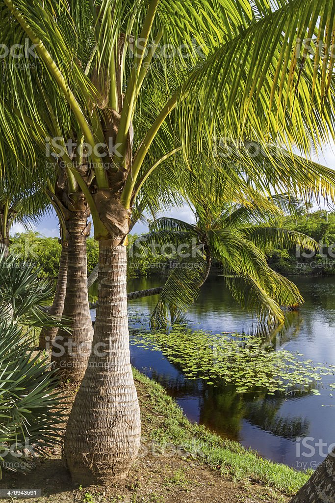 Majestic Palm Trees stock photo