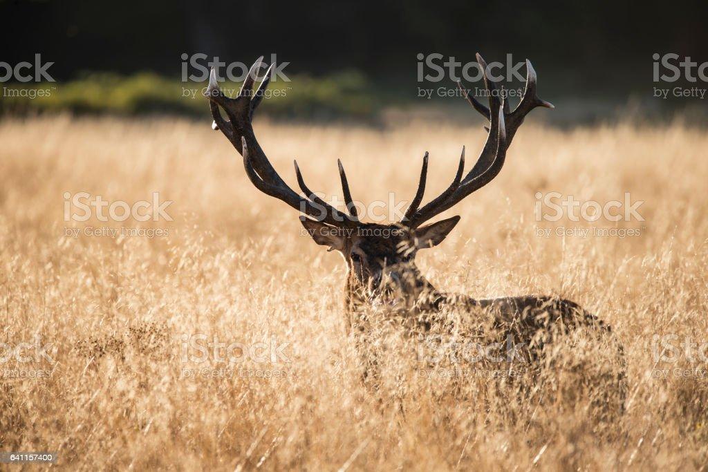 Majestic red deer stag cervus elaphus bellowing in landscape stock photo