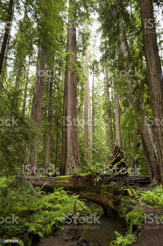 Majestic redwood forest royalty-free stock photo