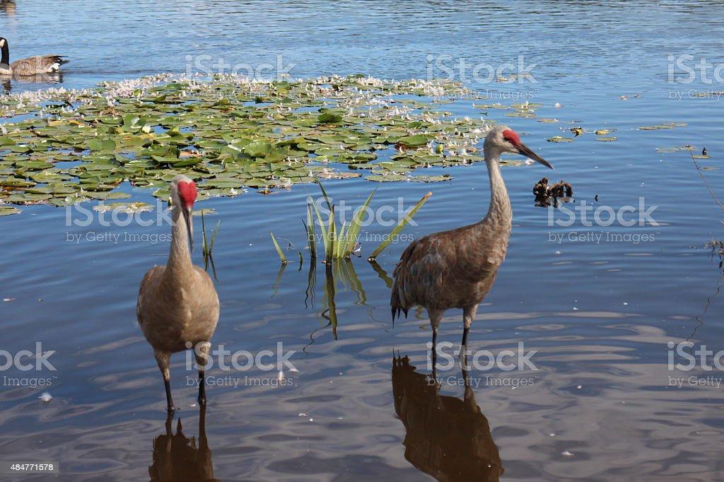 Majestic Sandhill crane stock photo