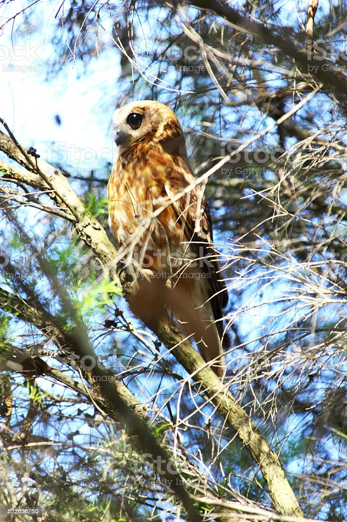 Majestic Southern Boobook Owl observing the Forest, Western Australia stock photo