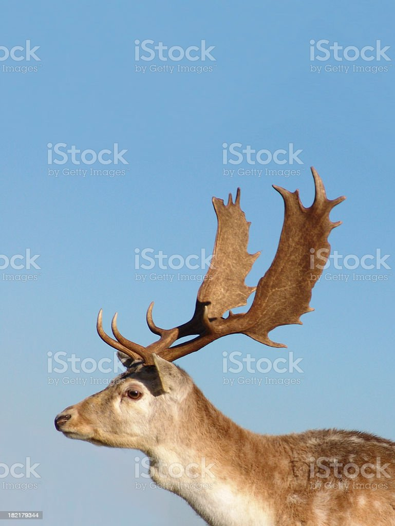 Majestic Stag royalty-free stock photo