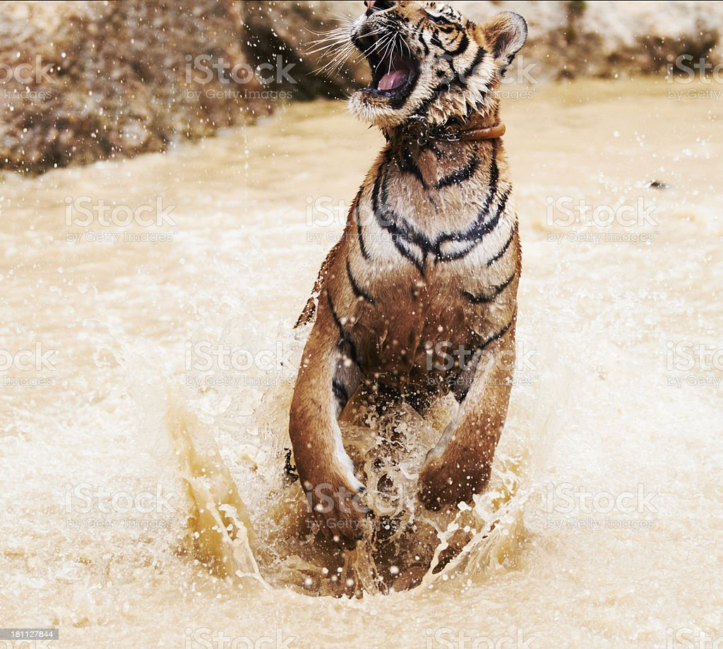 Majestic tiger jumping out of the water royalty-free stock photo