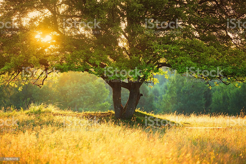 Majestic Tree against Harsh Sunlight during Colorful Sunset -shallow DOF stock photo