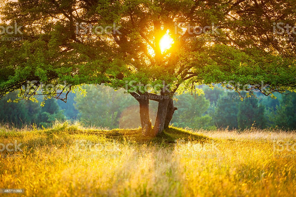 Majestic Tree against the Sunlight during Colorful Sunset royalty-free stock photo