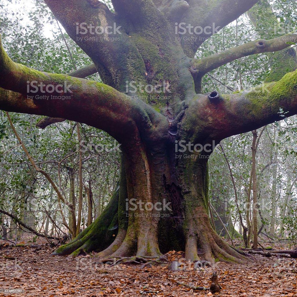 Majestic tree - Broceliande Forest - France stock photo