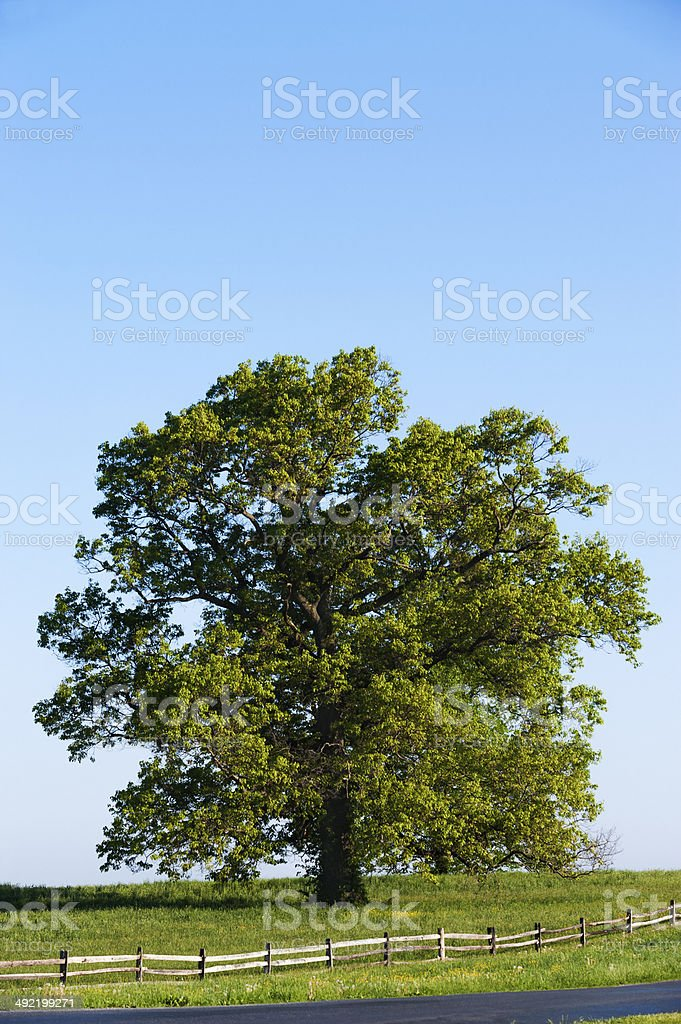 Majestic Tree stock photo