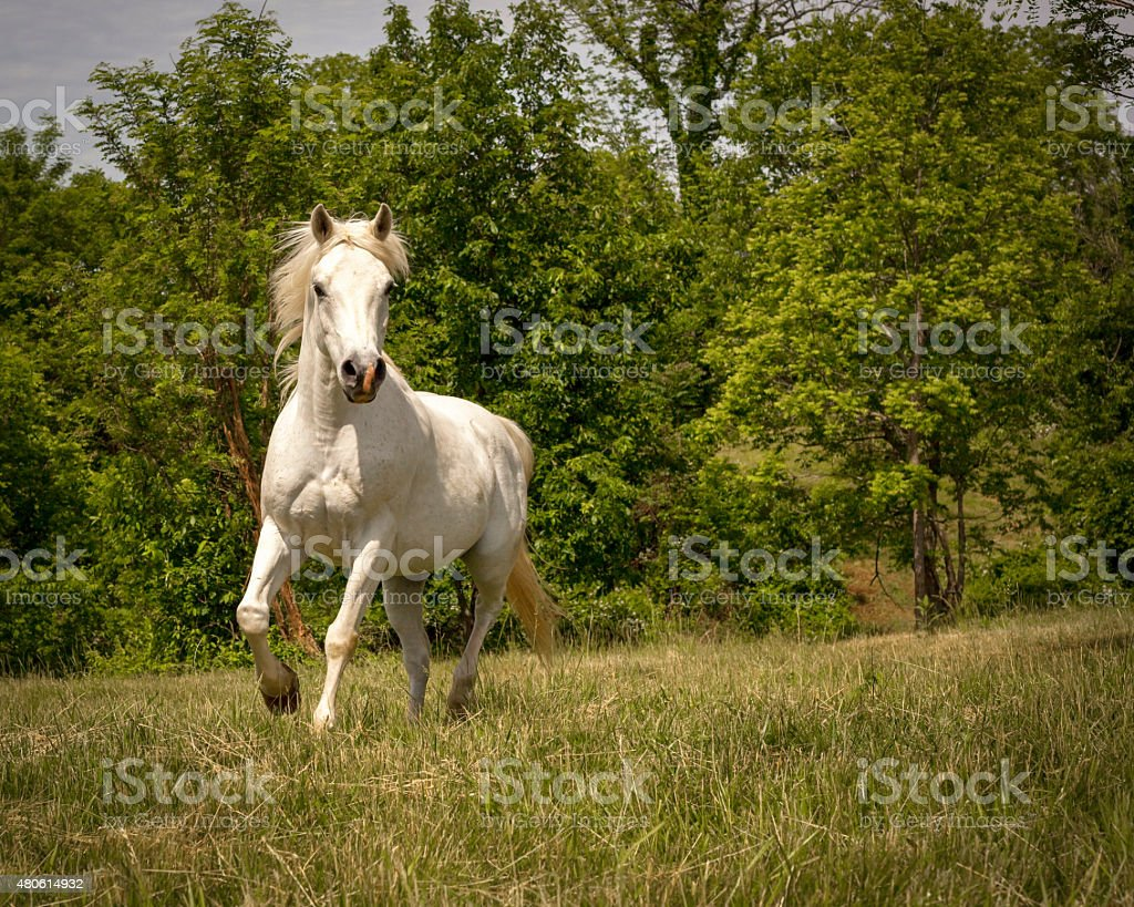 Majestic white Arabian horse running towards viewer stock photo