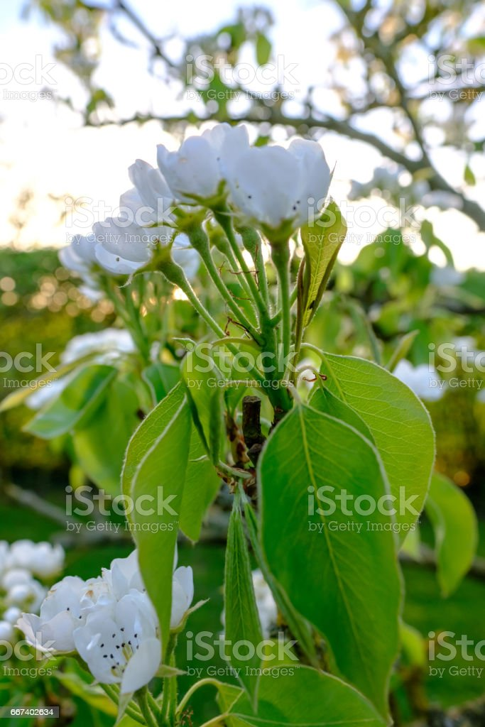 Majestic white blossom seen on an established Pear Tree in a commercial cider orchard in late spring. stock photo