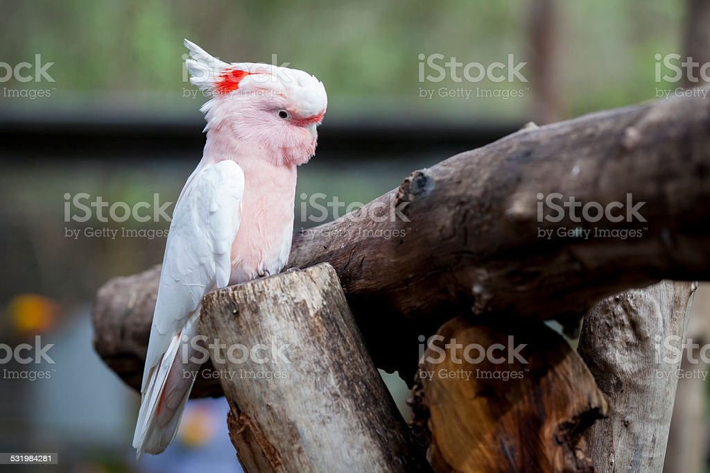 Major Mitchell Cockatoo stock photo