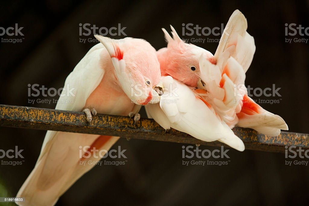 Major Mitchell's Cockatoos stock photo