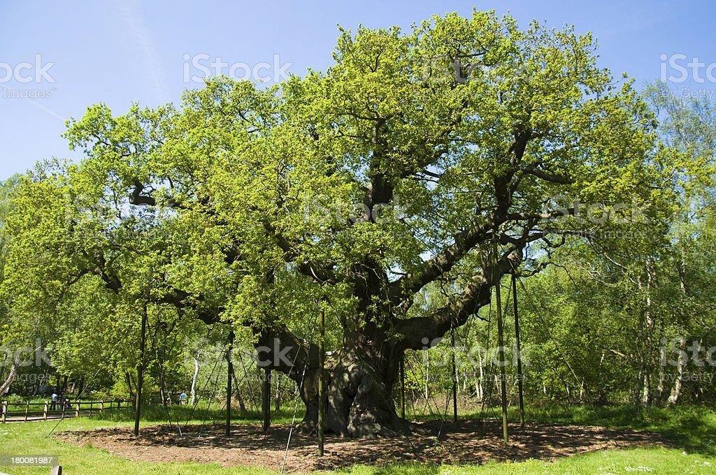 Major Oak. Britain's Oldest Tree royalty-free stock photo