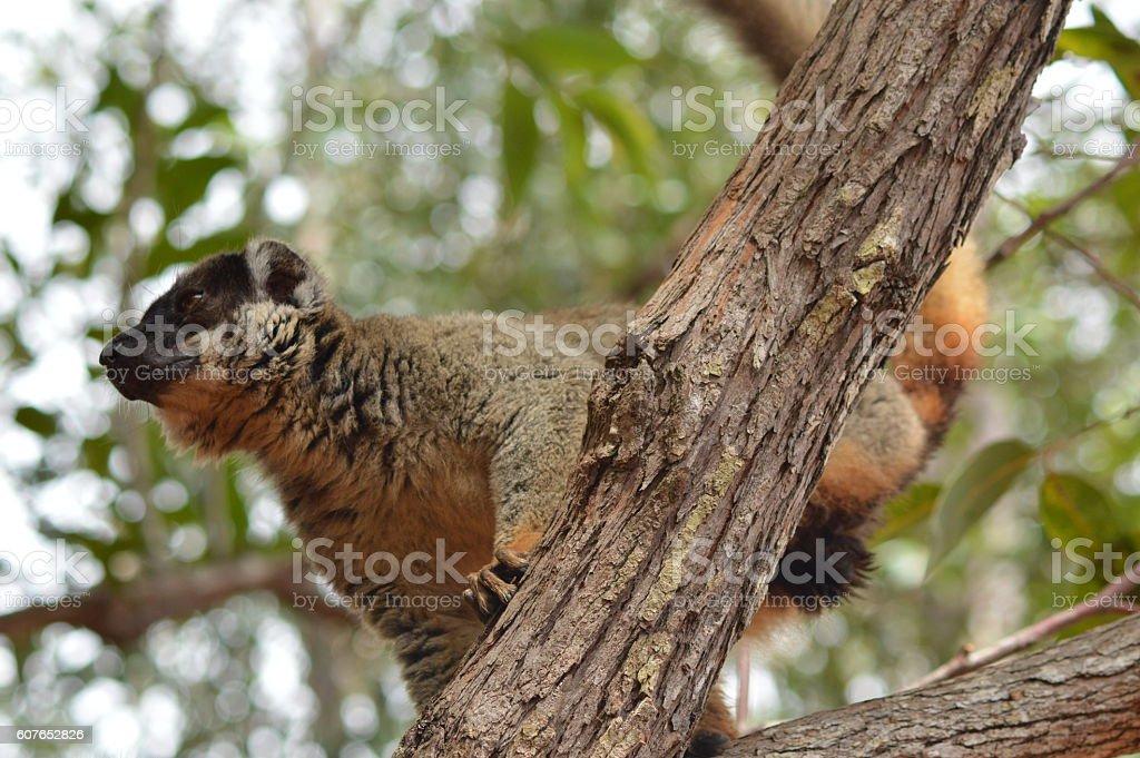 Maki brun sur une branche stock photo