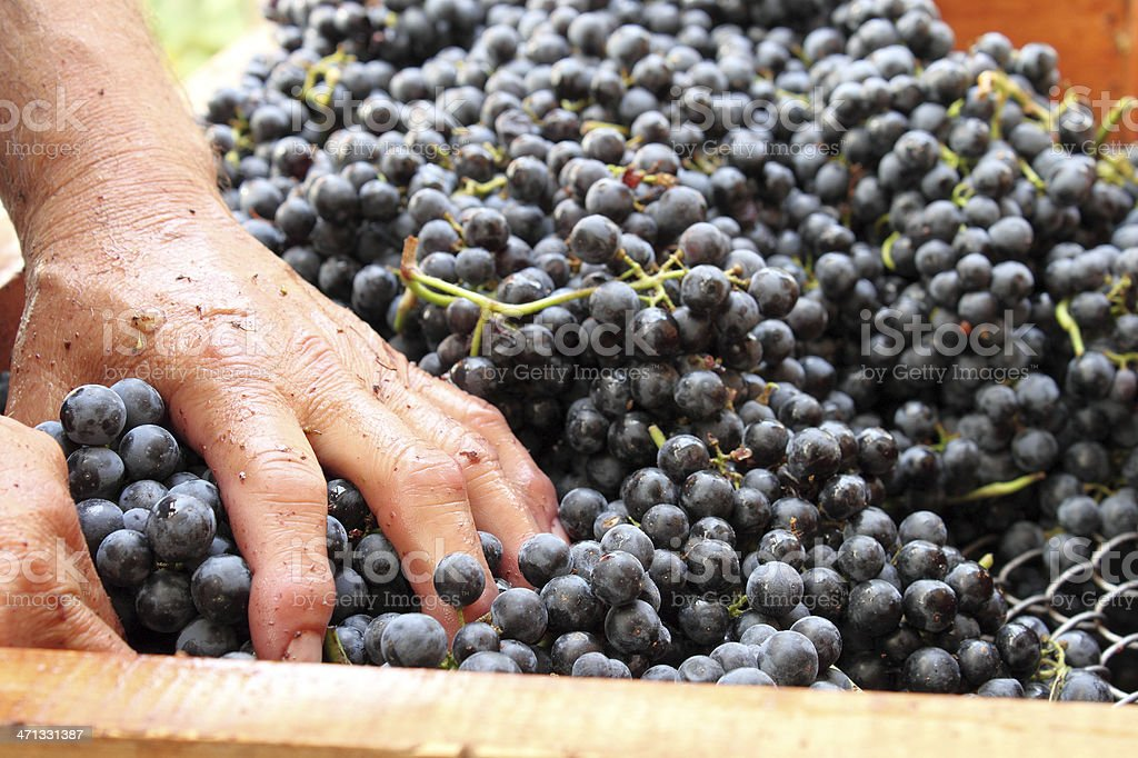 Making wine at home - series royalty-free stock photo