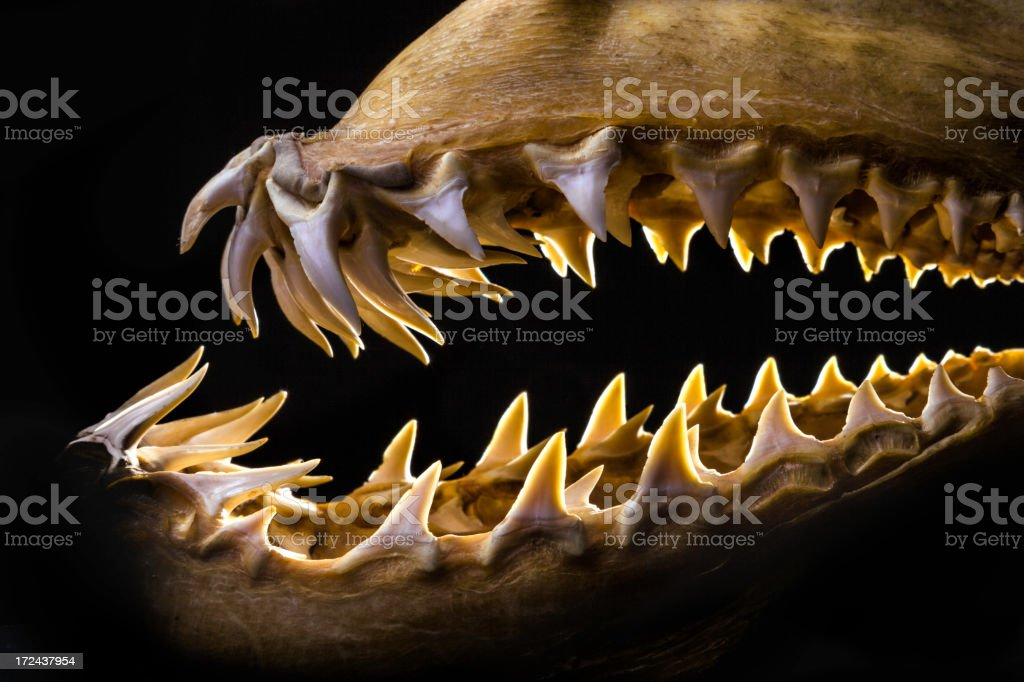 Mako shark jaws terrifying toothy silhouette stock photo