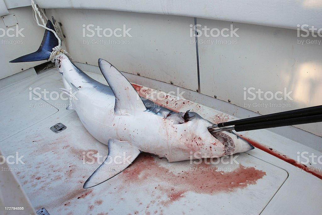 mako shark royalty-free stock photo