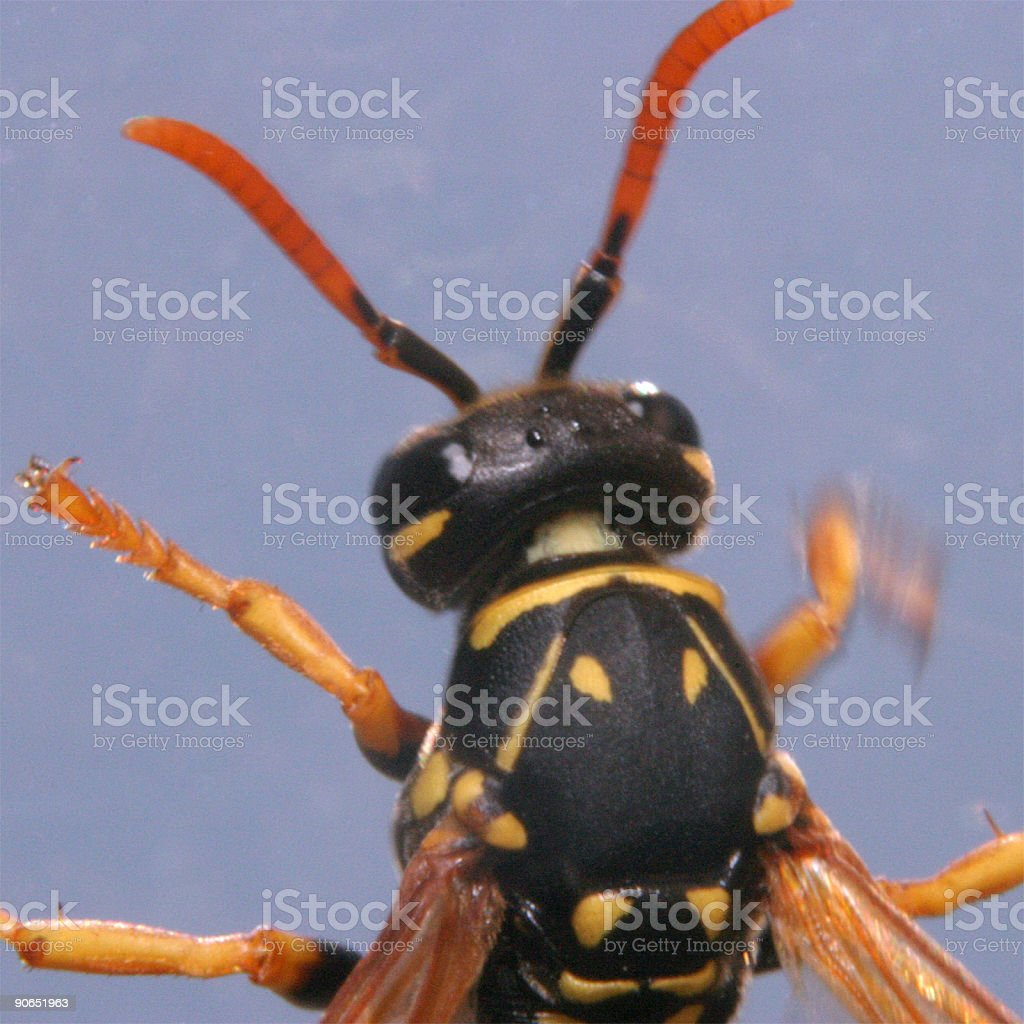 Makro of wasp royalty-free stock photo