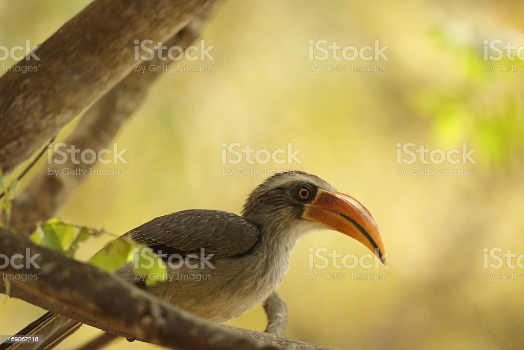 Malabar Grey Hornbill stock photo